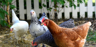 Ask The Attorney: Can I Terminate A Lease For Cause Over Chickens?